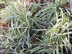 O clorofito é uma planta herbácea de pequeno porte, muito semelhante a uma grama. Suas folhas, dispostas em roseta, são longas, com cerca 30 cm de comprimento, recurvadas, macias, brilhantes e ...