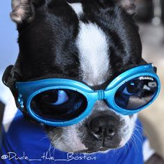 Boston Terrier In Doggles