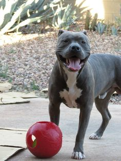 Sabre with his new teaser ball  #amstaff #apbt #pitbull #puppy