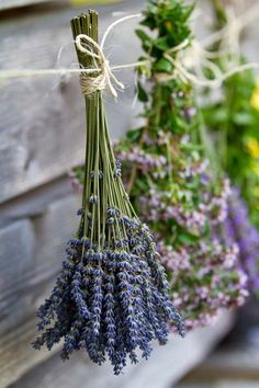 Learn about growing lavender--easily! We have gardening and care tips to help you grow the best lavender. Here are the dos and don'ts of growing your own lavender at home. Lavender Cottage, Lavender Blue, Lavender Fields, Lavender Ideas, Lavender Plants, Lavender Decor, Lavender Bouquet, French Lavender, Growing Lavender