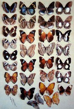 Marian Ellis (Ellis) Rowan (1848-1922) Australia : Thirty-One Butterflies, in Four Columns. Watercolour and body colour on grey paper
