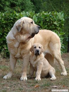 Spanish Mastiff.....precious mom and pup Check more at http://hrenoten.com
