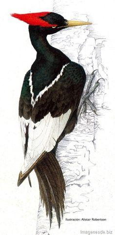 pajaro carpintero imperial Pretty Birds, Beautiful Birds, Animals Beautiful, Owl Bird, Bird Art, Imperial Dreams, Paradise Garden, Different Birds, Woodpeckers