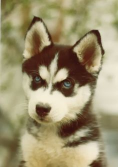If I ever have a dog... it will be a Siberian Husky.