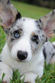 Blue Merle Cardigan Corgi Puppy!