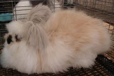 Get to know a little more about the six Angora rabbit breeds currently recognized by the American Rabbit Breeders Association. Angora Rabbit, Bunny Rabbit, Best Small Pets, Rabbit Facts, Small Pet Supplies, Rabbit Breeds, Pocket Pet, Amphibians, Exotic Pets
