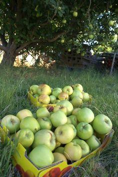 Fresh Picked Apples  winwinfarm.com « Urban homesteading in Gilbert, Arizona.