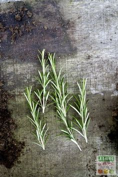 Rosemary cuttings when and how All tips for growing rosemary Vegetable Garden, Garden Plants, Herb Gardening, Growing Lettuce, Visit Morocco, Green Tips, Permaculture, Horticulture, Garden Inspiration