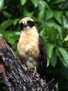 Laughing Falcon (Herpetotheres cachinnans), El Guaco. Costa Rica. www.manuelstours.com