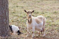 serenbe, carla royal blog, serenbe blog, baby goat, nature photos-13