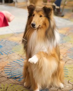 The Shetland Sheepdog originated in the and its ancestors were from Scotland, which worked as herding dogs. These early dogs were fairly Collie Puppies, Collie Dog, Cute Puppies, Dogs And Puppies, Shetland Sheepdog Puppies, Dog List, Rough Collie, Herding Dogs, Beautiful Dogs