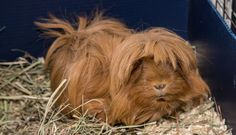 What I Learned about Guinea Pigs after I Graduated from Vet School
