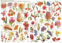 Wildflowers of Western Australia Chart or Poster