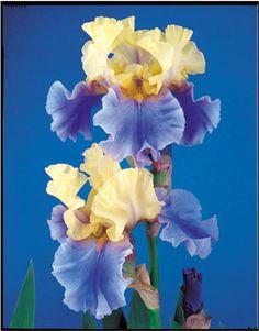 Edith Wolford | Tall Bearded Iris  Schreiner's Iris Gardens