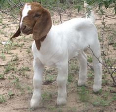 Cabras Boer, Show Goats, Vitamins For Kids, Daily Vitamins, Goat Care, Boer Goats, Raising Goats, Cute Goats, Showing Livestock