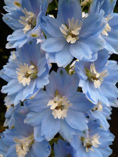 Delphinium. Needs sun or part sun. Apply a thin layer of compost each spring, followed by a 2-inch layer of mulch to retain moisture and control weeds. Water plants during the summer if rainfall is less than 1 inch per week. Soil should never dry out. Stake tall varieties to prevent hollow flower stalks from snapping in the wind, and deadhead after flowering to encourage rebloom. After the first killing frost, cut stems back to an inch or two above soil line.