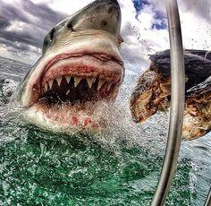 reportages: La ferocia di uno squalo vero (non è un film)
