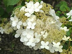 hortensia brussels lace - Google zoeken