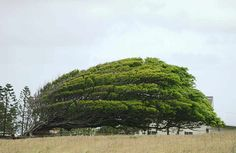 A Brutally Wind-Swept Tree in South Point, Hawaii