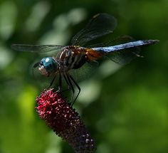 Google Image Result for http://cindydyer.files.wordpress.com/2007/09/blue-dragonfly.jpg