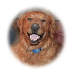 Chester is an adoptable Golden Retriever Dog in Las Vegas, NV. Chester would love a nice family and home to call his own. Chester is 5 years old. GRRSN is only able to place dogs in the Las Vegas, No...