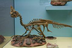 Oviraptor (Skeleton, Skelett) | Flickr - Photo Sharing!