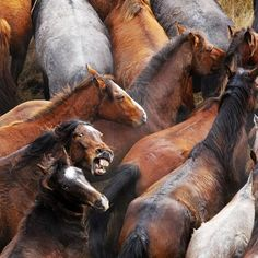 Kaimanawa muster New Zealand (wild horses) Haha! one stopped to smile for the camera! All About Horses, All About Animals, Types Of Animals, Animals And Pets, Equine Photography, Animal Photography, Photography 2017, Majestic Horse, Beautiful Horses