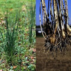 Foy Update: Wild Onions - Collecting, Gathering and Recipes