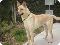 Los Angeles, CA - German Shepherd Dog Mix. Meet A1147611, a dog for adoption. http://www.adoptapet.com/pet/15005823-los-angeles-california-german-shepherd-dog-mix