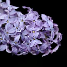 Love In Lilac