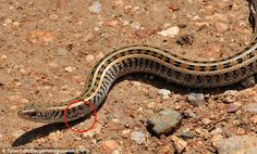 Rare: A reclusive skink lizard has been pictured alive for the first ever time by an amateur wildlife photographer