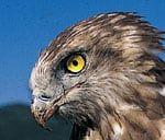 In Europas einzigartigem Greifvogel- und Eulenpark, inmitten historischer Burgmauern, leben verschiedenste Greifvogel- und Eulenarten. Aufgrund der professionellen Betreuung durch erfahrene Falkner führen die Tiere in ihren artgerechten Volieren ein völlig entspanntes und stressfreies Leben. Genau aus diesem Grund lassen sich unsere Vögel bei ihrem natürlichen Tagesprogramm beobachten, ohne sich durch den Betrachter gestört zu fühlen. Eine perfekte Möglichkeit, Greifvögel und Eulen besser…