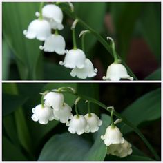 Lilly of the Valley -(Bells avalon26)