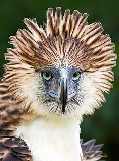 Philippine's Eagle