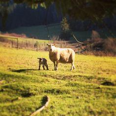 It's lamb season on Salt Spring Island, BC!