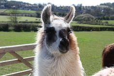 Mieke - Female Llama Llama Alpaca, Alpacas, Female, Animals, Animaux, Animal, Animales, Animais