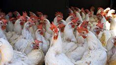 USA: maxi richiamo per allerta epidemia da salmonella collegata al pollo farcito congelato.