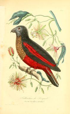 Psittrichas fulgidus. Histoire naturelle des oiseaux : suivant a classification de Isidore Geoffroy-Saint-Hilaire Paris :L. Curmer,1855. Biodiversitylibrary. Biodivlibrary. BHL. Biodiversity Heritage Library