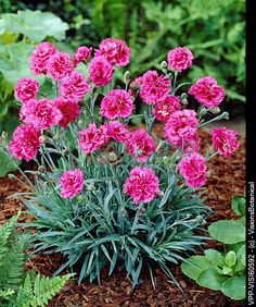 Dianthus Morning Star - May 2013