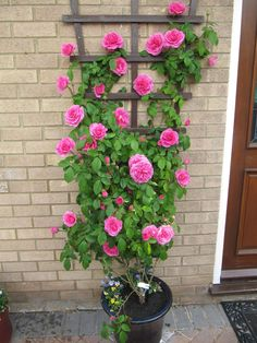 24 Best Vines for Containers - Climbing Plants for Pots / Balcony Garden Web Container Flowers, Container Plants, Container Gardening, Gardening Vegetables, Container Design, Pot Jardin, Growing Roses, Growing Plants, Climbing Roses