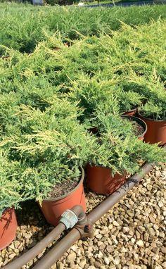 Vendita piante online - Juniperus Horizontalis Dorato