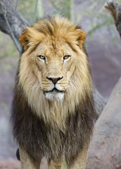 Kitambi Male Lion Portrait | by blackhawk32