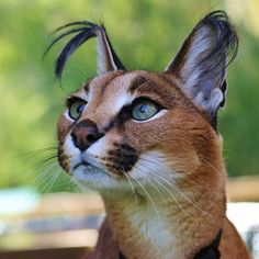 """sdzoo: """"There are many theories about the function of a caracal's ear tufts. The tufts may help keep flies out of the cat's face or help to camouflage the caracal in tall grass by breaking up the outline of the cat's head. Caracal Caracal, Caracal Kittens, Lynx Kitten, Cats And Kittens, Animals And Pets, Baby Animals, Cute Animals, Beautiful Cats, Animals Beautiful"""
