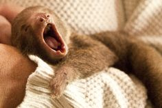 """Three-toed sloths are called ais (pronounced """"eyes"""") because of their long, high-pitched call that echoes through the forests as """"ahh-eeee."""""""