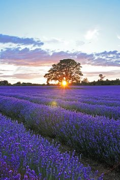 Sunset over lavender field #3