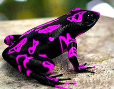 Poison Fart Frog