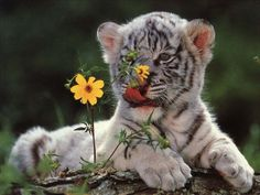 Snow Tiger Habitat | Baby White Tigers Wallpapers
