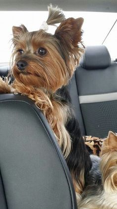 Yorkshire Terrier in car! That big beautiful bright eyes!