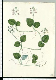 Dibujos de la Real Ecpedición Botánica del Nuevo Reino de Granada ( 1783-1816 ) dirigida por José Celestino Mutis (Real Jardín Botánico CSIC)