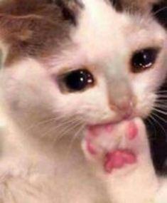 Sad Cat Meme, Cute Cat Memes, Cute Animal Memes, Cute Love Memes, Funny Animals, Cute Animals, Funny Memes, Meme Meme, Cute Cats